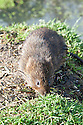 Water vole (Arvicola terrestris), late October.