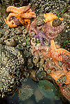 Olympic National Park, Shi Shi Beach, Point of the Arches, Washington State, Pacific Northwest, sea stars, sea anenomes, tide pools. Pacific Ocean, Northwest coast, Olympic Peninsula, North America, USA,.