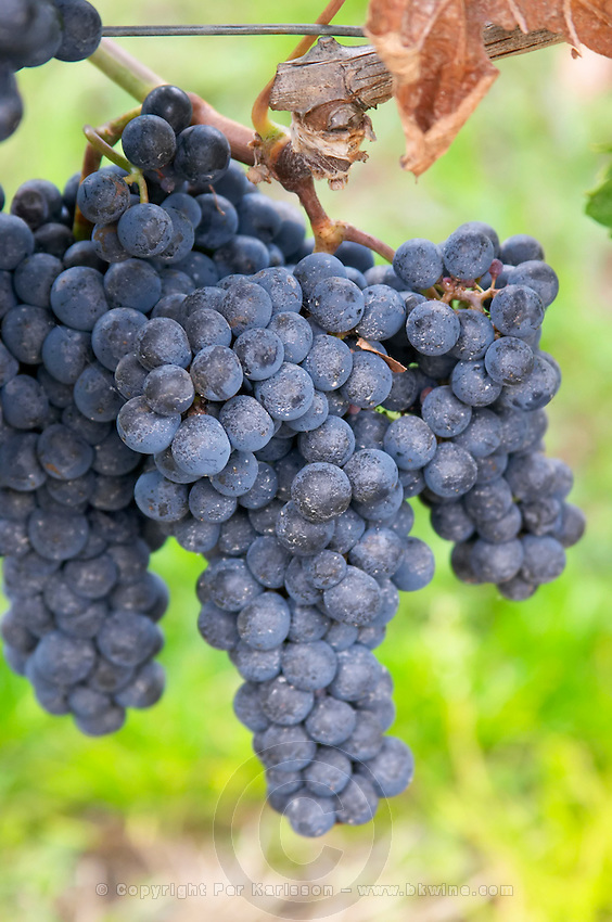Bunches of ripe grapes. Cabernet Franc. Chateau Belle-Garde, Bordeaux, France