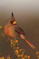 Pyrrhuloxia, Cardinalis sinuatus, male on blooming huisache, Willacy County, Rio Grande Valley, Texas, USA, June 2004