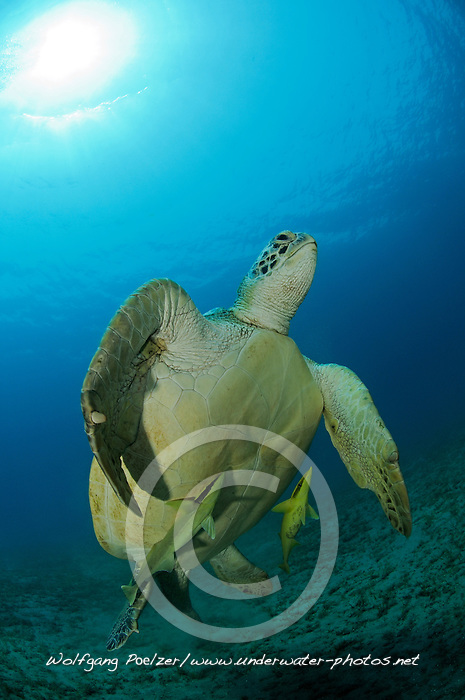 Green seaturtle, Chelonia mydas, and Sharksucker, Echeneis naucrates, Abu Dabab, Egypt, Red Sea