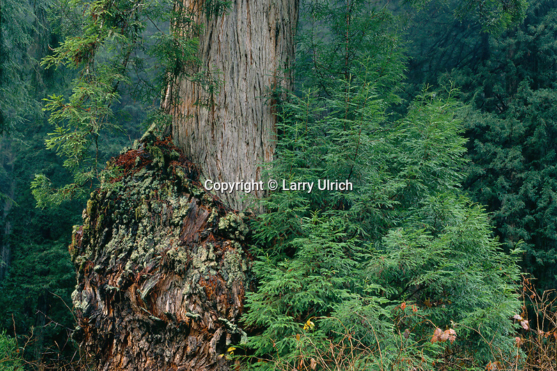 Burl on coast redwood<br /> Prairie Creek Trail<br /> Prairie Creek Redwoods State Park<br /> Humboldt County, California