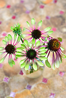 Echinacea purpurea Green Envy cut flowers