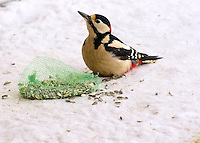 Great Spotted Woodpecker on the ground approaching seed feeder (male)