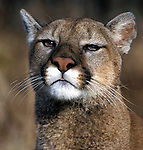 Cougar, Mountain Lion, Puma, Felix concolor, Minnesota, USA, portrait, controlled situation, face.USA....