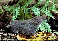 MU10-029z  Short-tailed Shrew - smelling air for scent of prey - Blarina brevicauda