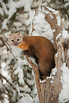 A pine marten looks out from its snowy hollow in a tree in the Shoshone National Forest in Wyoming.