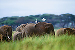 African elephants and cattle egrets, Amboseli National Park, Kenya