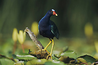 Purple Gallinule (Porphyrula martinica), adult perched among Yellow Waterlilies (Nymphaea mexicana), Sinton, Coastel Bend, Texas, USA