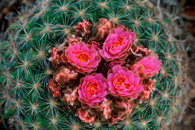A close-up of a mountain ball cactus (Pediocactus simpsonii) in bloom in Rocky Mountain National Park, Colorado.