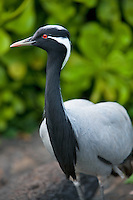 Demoiselle Crane or Lovely Lady crane. Grand Hyatt, Kauai, Hawaii.