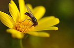 Hoverfly on Daisy, Syrphini, Eupeodes, Southern California