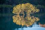 White mangrove (Avicennia marina), Kimberley, Western Australia, Australia<br /> <br /> Canon EOS 5D Mark III, EF70-200mm f/4L USM lens, f/5.6 for 1/160 second, ISO 500