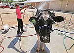 Hayden Story, 14, of Carson City, washes Amelia in preparation for competition at the NV150 Fair at Fuji Park, in Carson City, Nev., on Friday, Aug. 1, 2014.<br /> Photo by Cathleen Allison