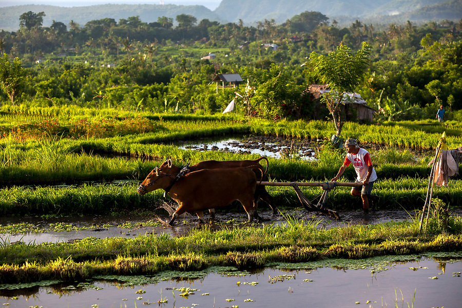 A man works in a rice paddy in Bali, Indonesia.