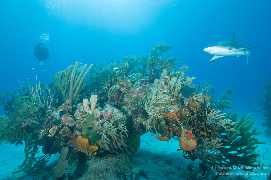 Grand Bahama Island, The Bahamas; a scuba diver hovers over a large patch coral reef, covered with sea rods, sponges and sea fans, arching over the sandy bottom as a Caribbean Reef Shark (Carcharhinus perezi) swims past