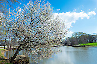 Spring blossom at Eckie's Pond. <br /> (photo by Russ Houston / &copy; Mississippi State University)