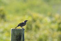 Female Brewer's Blackbird, Euphagus cyanocephalus, perches on a fence post near Bodega Bay, California