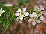 Leptospermum polygalifolium-Yellow Tea Tree