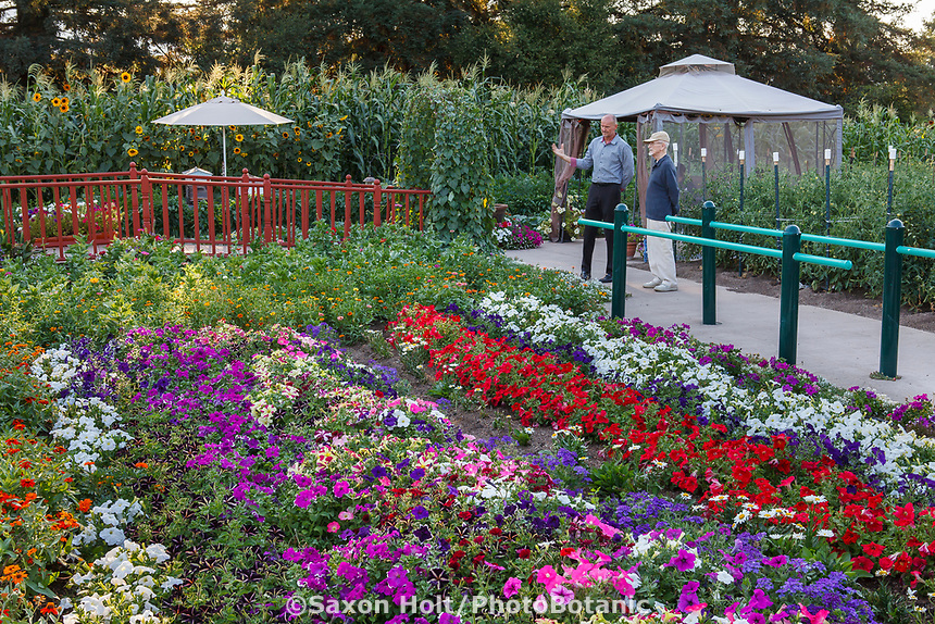 Colorful annual flower garden with petunias in Community Garden of Healdsburg Senior Living Center, California