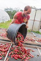 France, Aquitaine, Pyrénées-Atlantiques, Pays Basque, Espelette : Après la récolte les piments d'Espelette sont mis à sécher  chez Ramuntxo Pochelu, L'Atelier du Piment  //  France, Pyrenees Atlantiques, Basque Country, Espelette: After harvesting the Espelette peppers are dried,  Ramuntxo Pochelu, L'Atelier du Piment  /