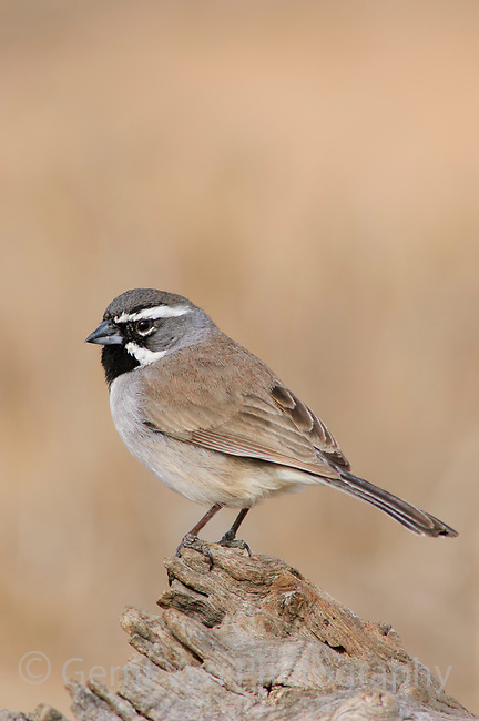 Adult Black-throated Sparrow (Amphispiza bilineata) of the subspecies A. b. bilineata. Hidalgo County, Texas. March.