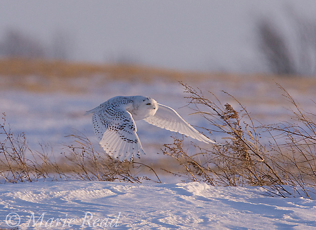 Snowy Owl (Nyctea scandiaca), adult taking flight in snow-covered field, Seneca County, New York, USA