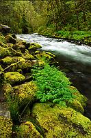 Gorton Creek and Corydalis, Oregon
