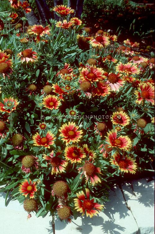 Plant habit & flowers of Gaillardia Bijou dwarf blanket flower . Blanket Flower