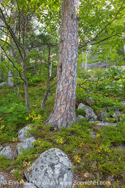 Red Pine Rocky Ridge Community during the summer months along the Moat Mountain Trail near South Moat Mountain in Albany, New Hampshire.