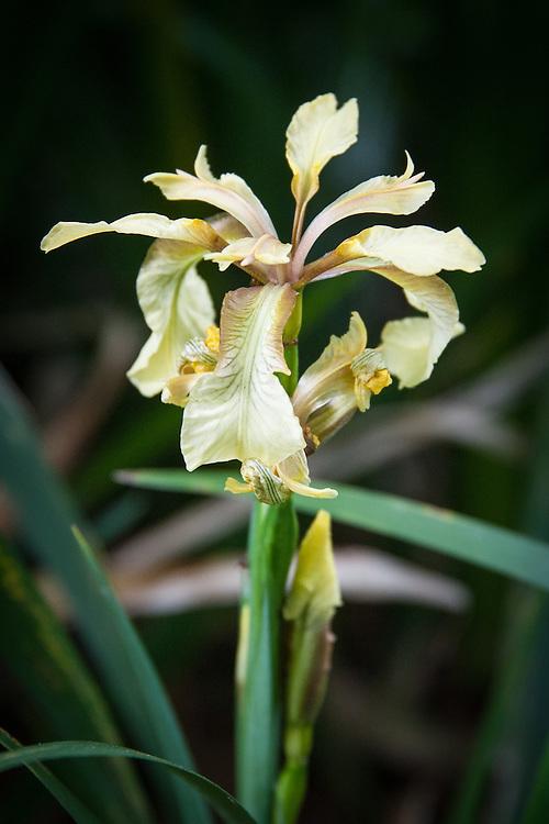 Stinking Iris (Iris foetidissima), early June.