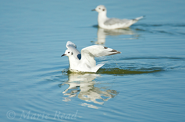 Bonaparte's Gulls (Larus philadelphia), East Harbor State Pk, Lake Erie, Ohio, USA