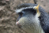 The Wolf's Mona Monkey (Cercopithecus wolfi), also called Wolf's Guenon, is a colorful Old World monkey in the Cercopithecidae family.