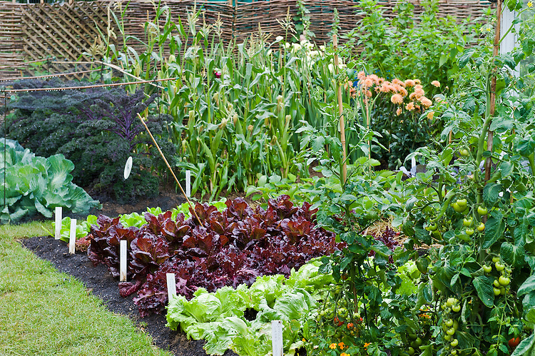 Kitchen garden planted with cabbages, kale, sweetcorn, lettuces and tomatoes. Growing Tastes Allotment Garden, RHS Hampton Court Flower Show 2009.