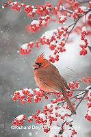01530-176.13 Northern Cardinal (Cardinalis cardinalis) male in Common Winterberry (Ilex verticillata) in snowstorm, Marion Co. IL