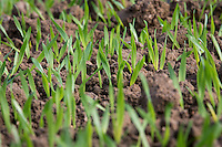 Emerging winter barley plants - Norfolk, September