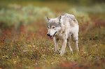 Gray Wolf walking across the tundra in Denali National Park.