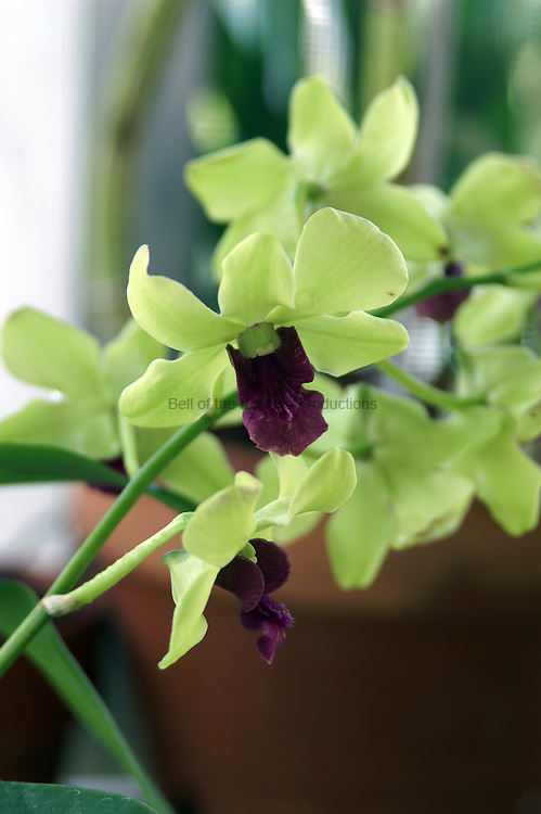 The green seems to glow on this orchid.