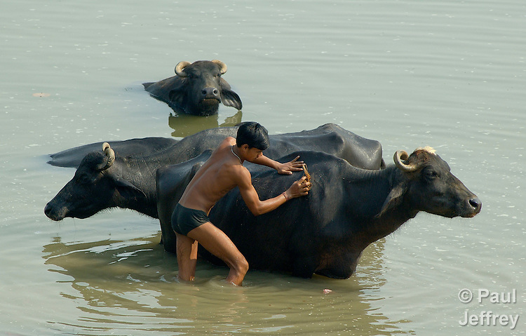 A boy washes water buffaloes in the Ganges River.