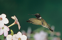 Black-chinned Hummingbird, Archilochus alexandri, male feeding on Nicotiana (Nicotiana sp.) , Madera Canyon, Arizona, USA, May 2005