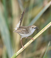 Graceful Prinia - Prinia gracilis