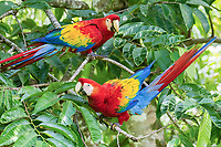 scarlet macaw, Ara macao, pair, Alajuela Province, Costa Rica, Central America