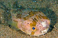 Balloonfish, Diodon holocanthus, Sahara, Dumaguete, Negros, Philippines