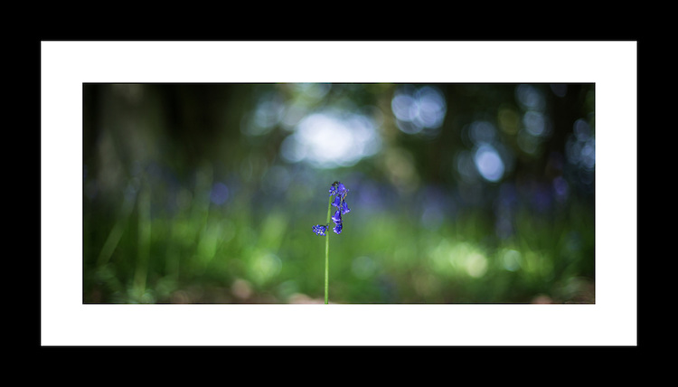 Blue Bells 17th May 2015<br /> <br /> Photo: - Richard Washbrooke Photography