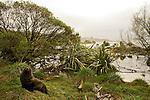 New Zealand Fur Seal (Arctocephalus forsteri) bull in coastal grasses, Kaikoura, South Island, New Zealand