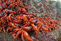 Cast of Red Crabs, Gecarcoidea natalis, clinging on to rocks, Christmas Island, Australia, Indian Ocean