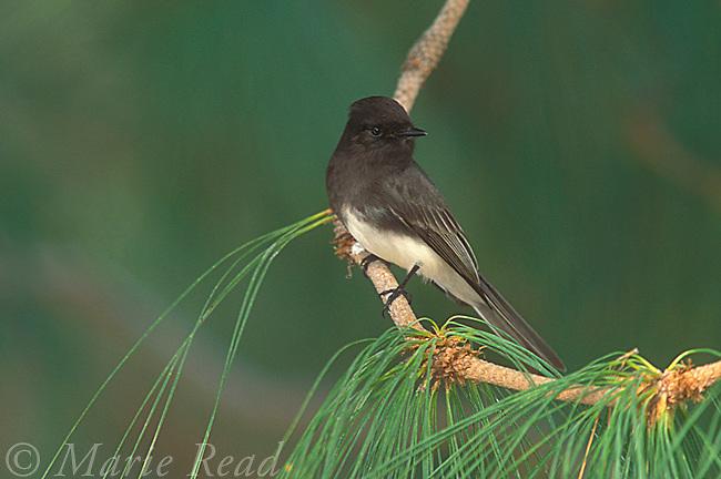 Black Phoebe (Sayornis nigricans), Irvine, California, USA<br /> Slide # B105801