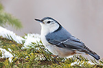 White-breasted nuthatch perched in a snow-covered spruce in northern Wisconsin.