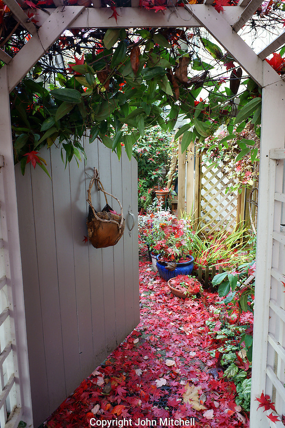 Gate and pathway to a house covered in red, autumn leaves, Vancouver, BC, Canada