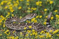 Western Diamondback Rattlesnake (Crotalus atrox), adult, Sinton, Corpus Christi, Coastal Bend, Texas, USA